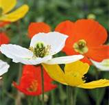 Iceland_Poppies