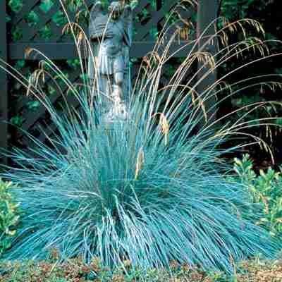 blue-oat-grass